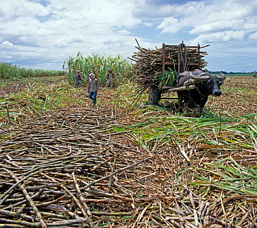 Water buffalo pulling cart of cut sugar cane surrounded by harvested canes, with crop harvest behind, Negros, Philippines, February