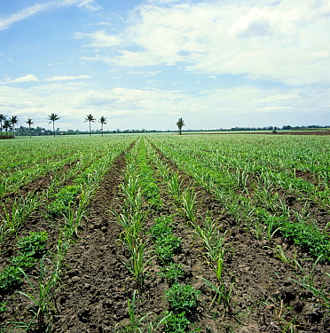 Interrow cropping with rows of young sugar cane (Saccharum officinarum) and peanuts (Arachis hypogea), Negros, Philippines, February
