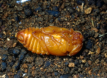 Rhinocerus beetle (Oryctes rhinoceros) pupa of a serious pest of coconut palms (Cocos nucifera), Mindanao, Philippines, February