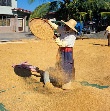 Old lady smoking a cheroot winnowing harvested and threshed rice crop among a pile of grain, Luzon, Philippines