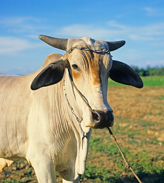 Head of a tethered Brahaman or zebu ox used for cultivation with a rope through the nose, Philippines, February