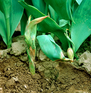 Tulip fire (Botrytis tulipae) disease damage and wilting of tulip (Tulipa sp.) plants in a crop in bud, Lincolnshire, April,