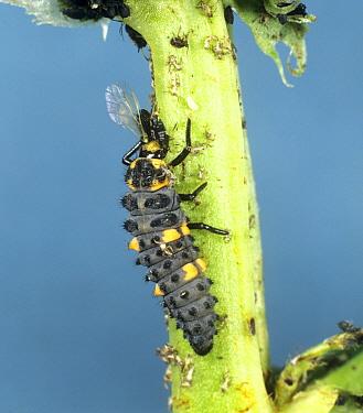 Seven spot ladybird (Coccinella septumpunctata) larva feeding on black bean aphid (Aphis fabae)
