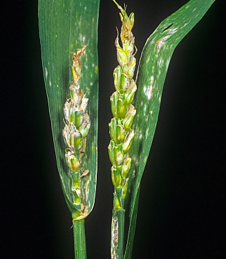 Powdery mildew (Blumeria graminis) fungal disease on an aborted ear and flagleaf on wheat plant ears