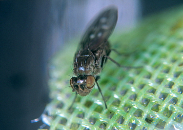 Shore fly or fungus fly (Scatella stagnalis) adult on glasshouse mesh. Shore flies contaminate lettuce crops