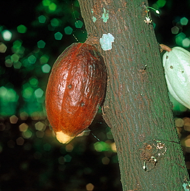 Black pod or fruit rot (Phytophthora palmivora) infected cocoa pod on the bush, Malaysia, February