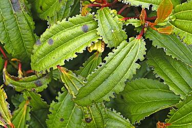 Notching damage caused by vine weevils (Otiorhynchus sulcatus) to the edges of Viburnum davidii leaves, Devon, April