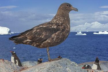 Brown skua (Stercorarius antarcticus), Ronge Island, Antarctica.