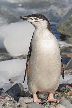 Chinstrap Penguin (Pygoscelis antarctica), Ronge Island, Antarctica.