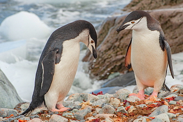 Chinstrap Penguins (Pygoscelis antarctica). Ronge Island. Antarctica.