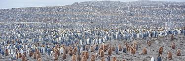 King penguin (Aptenodytes patagonicus) breeding colony, Salisbury Plain, South Georgia. Snow shower.