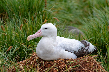 Wandering Albatross (Diomedea exulans) on nest. Prion Island, South Georgia.