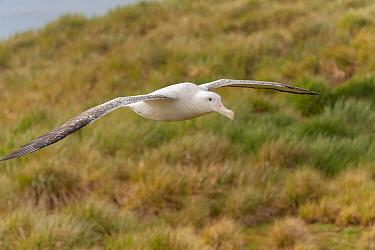 Wandering Albatross (Diomedea exulans) in flight. Prion Island, South Georgia.