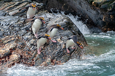 Macaroni penguins (Eudyptes chrysolophus). Royal Bay. South Georgia.