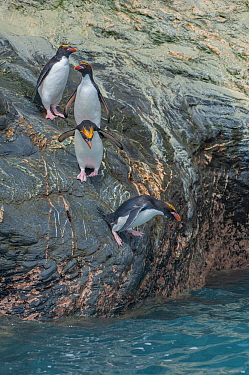Macaroni penguins (Eudyptes chrysolophus) entering water. Royal Bay, South Georgia.