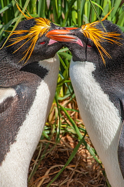 Macaroni penguins (Eudyptes chrysolophus) pair preening in courtship display, South Georgia.