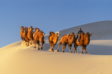 A herder with Bactrian camels riding in the Hongoryn Els sand dunes in the Gobi Desert in southern Mongolia.