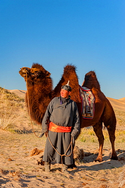 A herder with Bactrian camel, in the Hongoryn Els sand dunes. Gobi Desert in southern Mongolia.