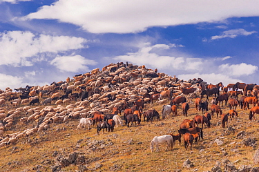 Herd of goats and horses. Backcountry of Mongolia.