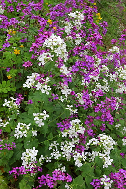 Annual honesty (Lunaria annua) purple, white and yellow flowers on the banks of the Tarn river, Regional Natural Park, Lozere, France, April