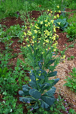 Cabbage flowering (Brassica oleracea capita) growing in an organic garden, with Peas (Pisum sativum) and Spring beans (Vicia faba), Grands Causses Regional Natural Park, Lozere, France, April