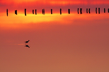 Silhouette of Black-winged stilt (Himantopus himanthopus) walking in the marshes at dawn with pickets in the background, Presqu �le de Giens, Var, France, April