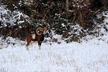 Mouflon (Ovis musimon) standing in snow at the edge of the forest, Grands Causses Regional Natural Park, Lozere, France, April
