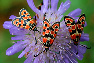 Three Auspicious Burnet (Zygaena fausta) feeding on Devils-bit scabious (Succisa pratensis) Grands Causses Regional Natural Park, Lozere, France, September