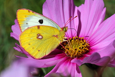 Clouded yellow butterfly (Colias croceus) feeding on a cosmos flower (Cosmos bipinnatus) in a garden, Grands Causses Regional Natural Park, Lozere, France, October