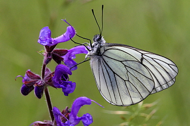 Black veined white butterfly (Aporia crataegi) on a Meadow clary flower (Salvia pratensis), Grands Causses Regional Natural Park, Lozere, France, July