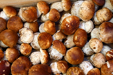 Ceps (Boletus edulis) in wooden crate at Cep fair in the town of Mende, Lozere, France, April