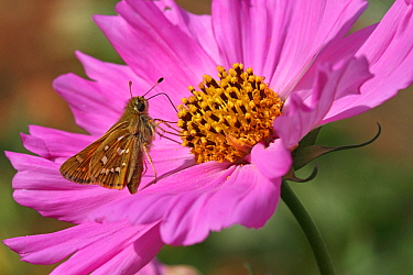 Silver-spotted skipper butterfly (Hesperia comma) female feeding on a cosmos flower (Cosmos bipinnatus) in a garden, Grands Causses Regional Natural Park, Lozere, France, August