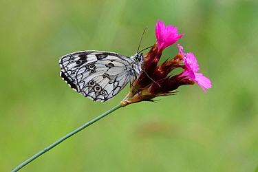 Marbled white butterfly (Melanargia galathea) resting on Wood pink (Dianthus sylvestris) flower, Grands Causses Regional Natural Park, Lozere, France, July