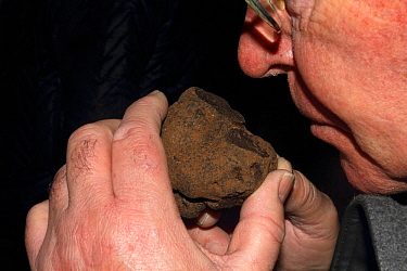 Man smelling a Black truffle (Tuber melanosorum) during the trufflle festival at la Canourgue, Grands Causses Regional Natural Park, Lozere, France, February