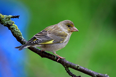 European greenfinch (Carduelis chloris) female, perched on tree branch, Grands Causses Regional Natural Park, Lozere, France, May