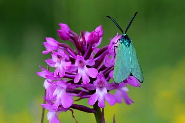 Common forester moth (Adscita statices) on Pyramidal Orchid (Anacamptis pyramidalis) Grands Causses Regional Natural Park, Lozere, France, June