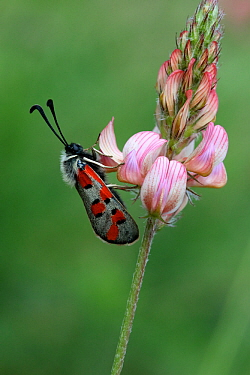Burnet moth (Zygaena rhadamanthus) on Sainfoin flower (Onobrychis viciifolia) Grands Causses Regional Natural Park, Lozere, France, June
