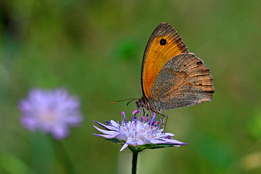 Meadow brown butterfly (Maniola jurtina) feeding on Devils-bit scabious (Succisa pratensis) , Var, Provence, France, June