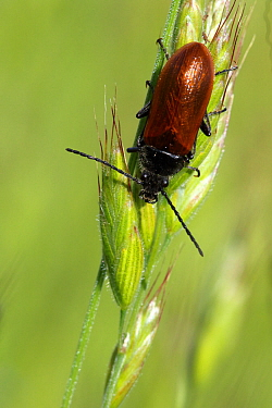 Orange omophlus (Omophlus lepturoides) on ear of wheat, Grands Causses Regional Natural Park, Lozere, France, May