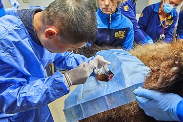 Chinese veterinarian from the Chengdu Giant Panda Breeding Centre, artificially inseminating the female Giant panda Huan Huan (Ailuropoda melanoleuca) Beauval Zoo, Saint-Aignan, France.