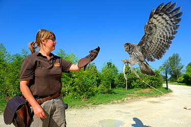Keeper at the bird unit, training with a Great grey owl (Strix nebulosa lapponica), Beauval Zoo, Saint-Aignan, France.