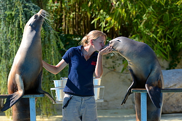 Two captive California sea lions (Zalophus californianus) performing and kissing with zookeeper at the French zoo, ZooParc de Beauval, Saint-Aignan, France.