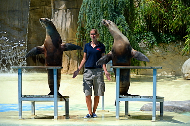 Two California sea lions (Zalophus californianus) performing their show with zookeeper at the French zoo, ZooParc de Beauval, Saint-Aignan, France.