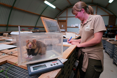 Zookeeper Nienke weighing a European hamster (Cricetus cricetus) which is part of a breeding program run by GaiaZOO, Kerkade, The Netherlands. May. Model released.