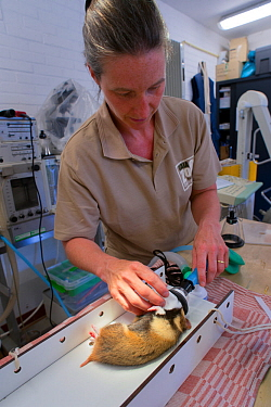 Zoo veterinarian Christine Kaandorp about to insert a telemetry transmitter into a European hamster (Cricetus cricetus). About 10 percent of the European hamsters in the breeding program are equipped...