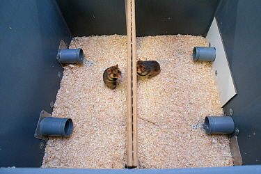 GaiaZOO European Hamster (Cricetus cricetus) Breeding Program: enclosure setup to determine if the hamsters are ready to mate. This is necessary because the wild population cannot survive on its own a...