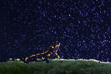 Fire salamander (Salamandra salamandra) active on a rainy evening, Hallerbos, Belgium. October.