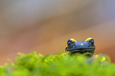 Fire salamander (Salamandra salamandra) close up portrait, Hallerbos, Belgium. November.