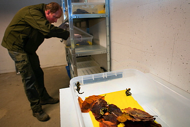 Wild Fire salamanders (Salamandra salamandra) on a plastic tray with damp leaves, part of a program to capture the last wild population in the Netherlands and keep it safe in GaiaZOO to prevent infect...