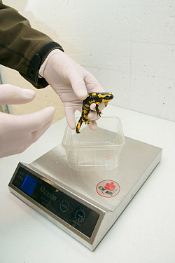 A wild Fire salamander (Salamandra salamandra) being weighed, part of a program to capture the last wild population in the Netherlands and keep it safe in GaiaZOO to prevent infection from a deadly fu...